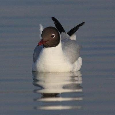 Location:: Nalsarovar, Gujarat.Species:: Black-Headed Gull