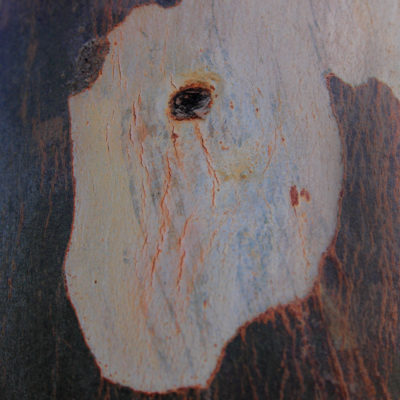 The partially eroded skin of the tree bark of Eucalyp`tus tree ,reminds me of jurassic era....