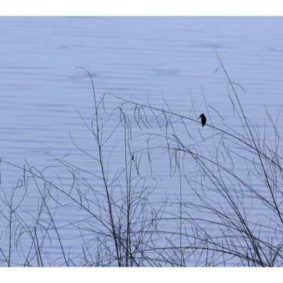 Place::Kamleshwar reseroir, Gir National Park..Species:: Common Kingfisher
