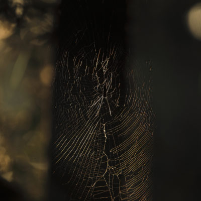 Early winter is an excellent time to capture  spider webs...The giant wood spiders prepare large webs across the dense forest & early morning light filtered through canopies give some very interesting compositions.Here i captured backllit  spider in its web very high in the canopy..