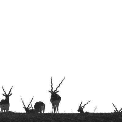 Made this image at velavadar national park...During safari i observed a large group of ale blackbucks was heading towards a small hillock in the grassland...I eushed there & waited for them to climb it to get eye level  perspective of blackcucks with antlers...